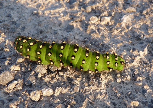 Deep-Fried Caterpillar in South Africa