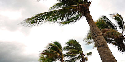 Palm Trees Blowing in Strong Wind