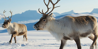 Reindeer in Tundra